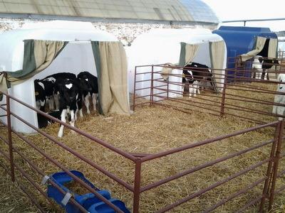 установка групповых домиков для телят, пластиковый групповой домик для теленка, эксплуатация в хозяйствах
